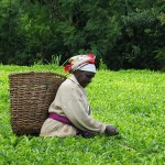 Kenyan Fairtrade tea plantation